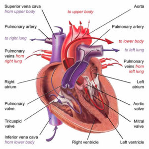 The heart heart and vascula specialists for the heart to pump effectively it requires a regular and reliable heart beat which it derives from its own electrical conduction system ccuart Choice Image